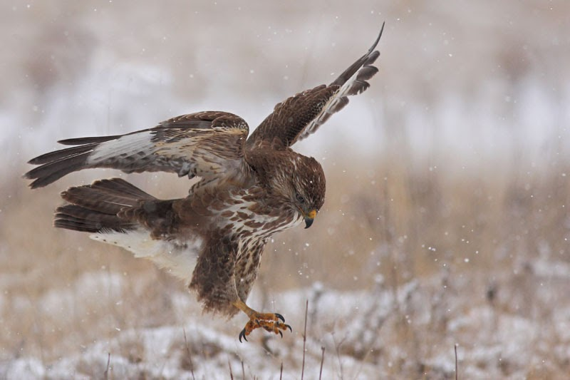 Common Buzzard Buteo buteo photography by Iordan Hristov