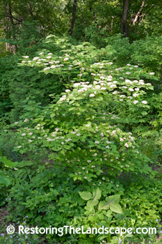 two of my favorite plants that are large shrubsmall tree sized to showcase as specimens are pagoda dogwood cornus also - Shade Tolerant Shrubs
