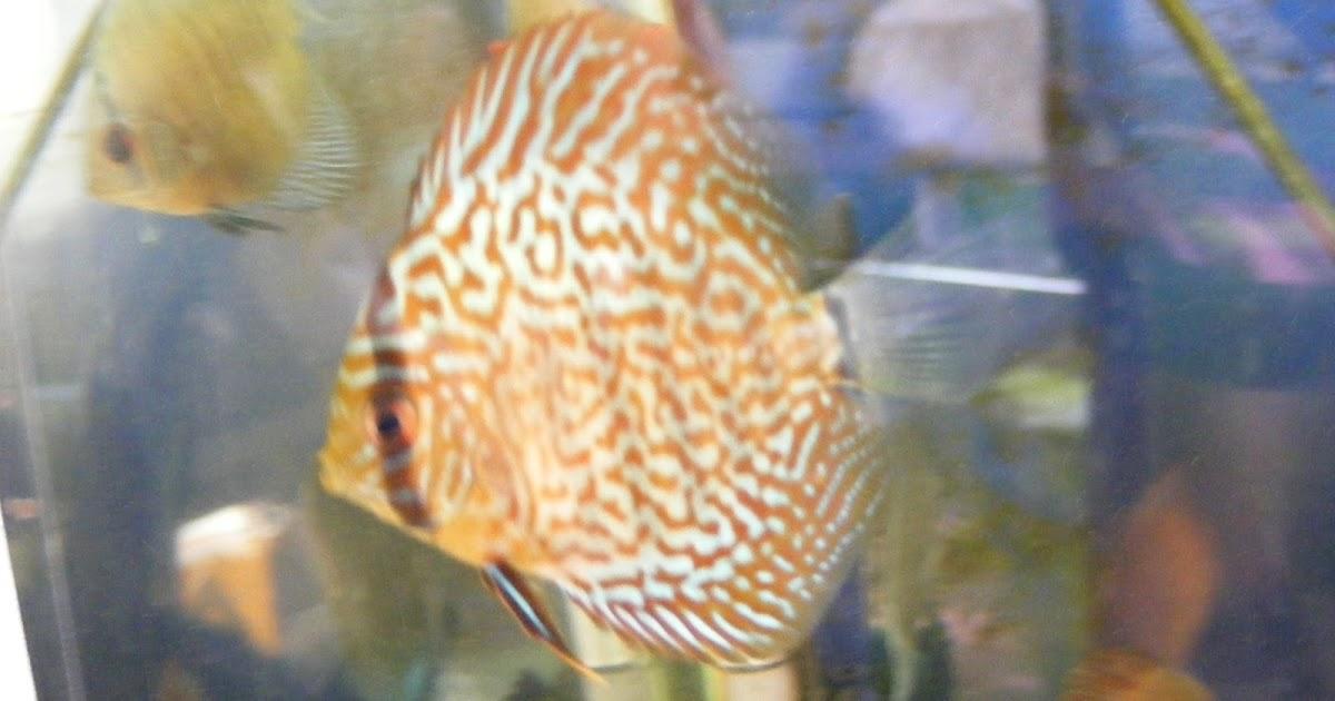 Acuacolombia especies de peces ornamentales permitidas for Peces ornamentales