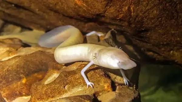 Σπάνιο είδος «μικρού δράκου» βρέθηκε σε σπήλαιο (Βίντεο)