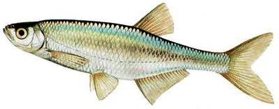 Hướng dẫn làm mồi nhậy câu cá rói sông