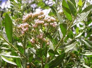 Cúc tần - vị thuốc trong tinh chất thảo dược thiên nhiên trị mụn