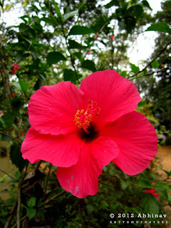 Rose - Red Hibiscus