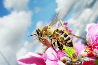 Bee Deviled: Scientists No Longer Bumbling Over Cause Of Colony Collapse Disorder  Bee