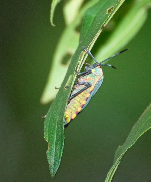 Shield Bug (Pentatomidae)