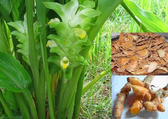 Herb turmeric
