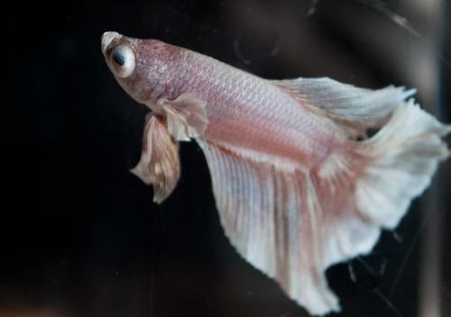 Popeye eye fish for Fishing eye syndrome