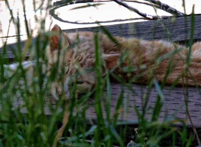 Feral cat hiding and sleeping near some grass