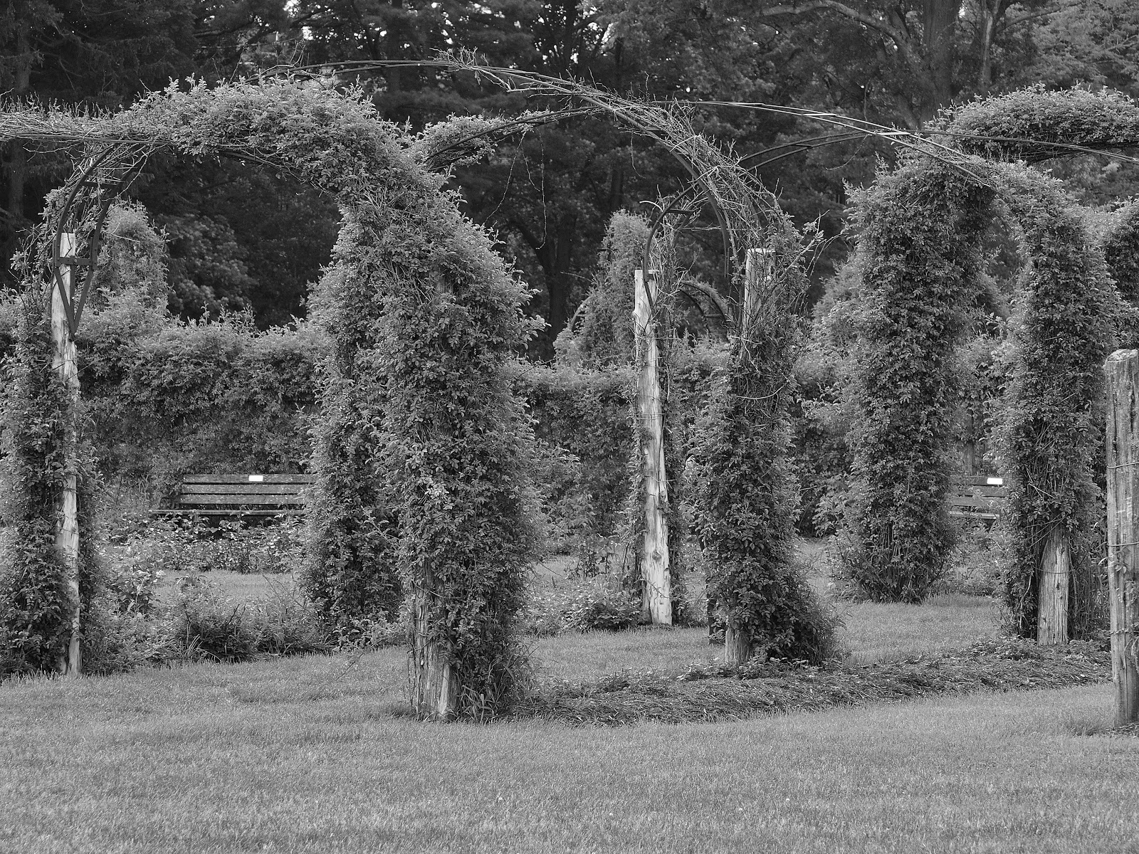 Rose Garden Arches, Elizabeth Park, Black & White, Hartford, CT 2014 #rosegarden