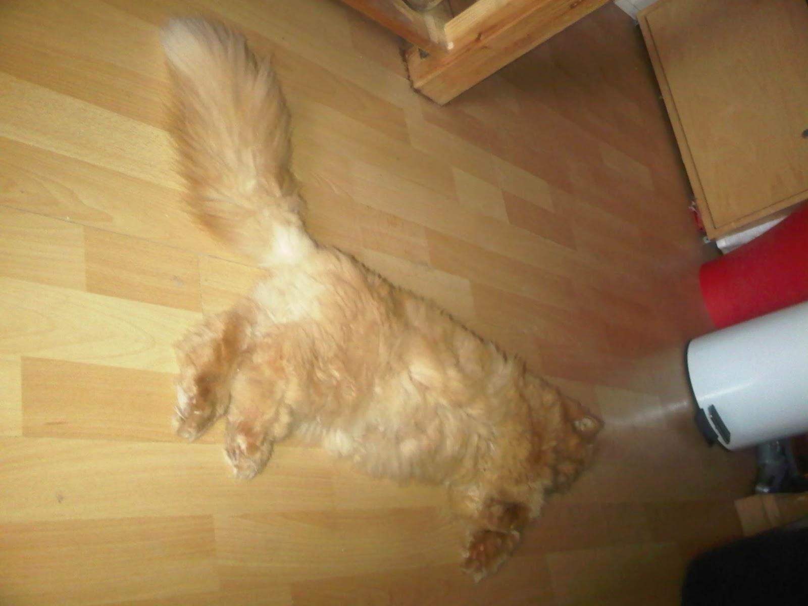 Perserkater liegt auf dem Fußboden