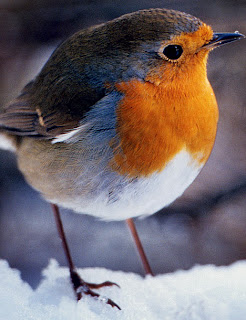 birds, robin, garden birds