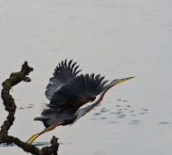Flight of Purple Heron
