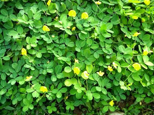 Jual pohon landep (kacang-kacangan) | tanaman perdu rendah untuk penutup tanah | suplier tanaman hias dan rumput taman