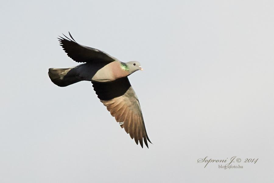 Kék galamb - Hohltaube - Stock Pigeon - Columba oenas