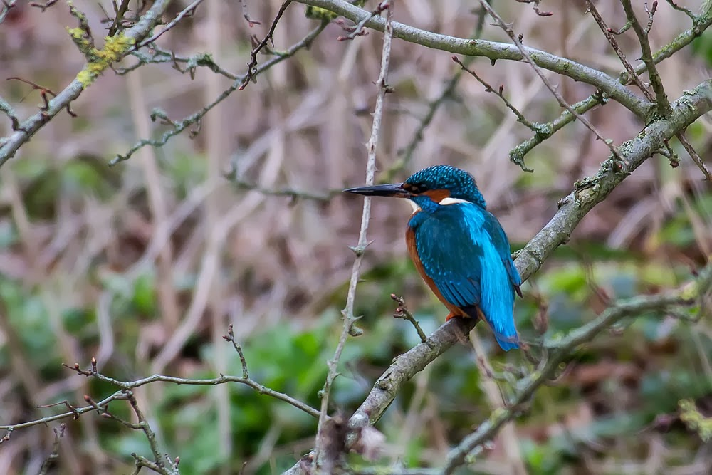 Common Kingfisher - Loughton Valley Park, Milton Keynes