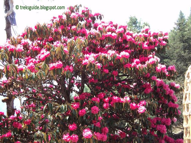 Beautiful flowers in Everest region