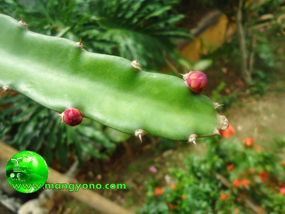 Bakal bunga Naga bermunculan
