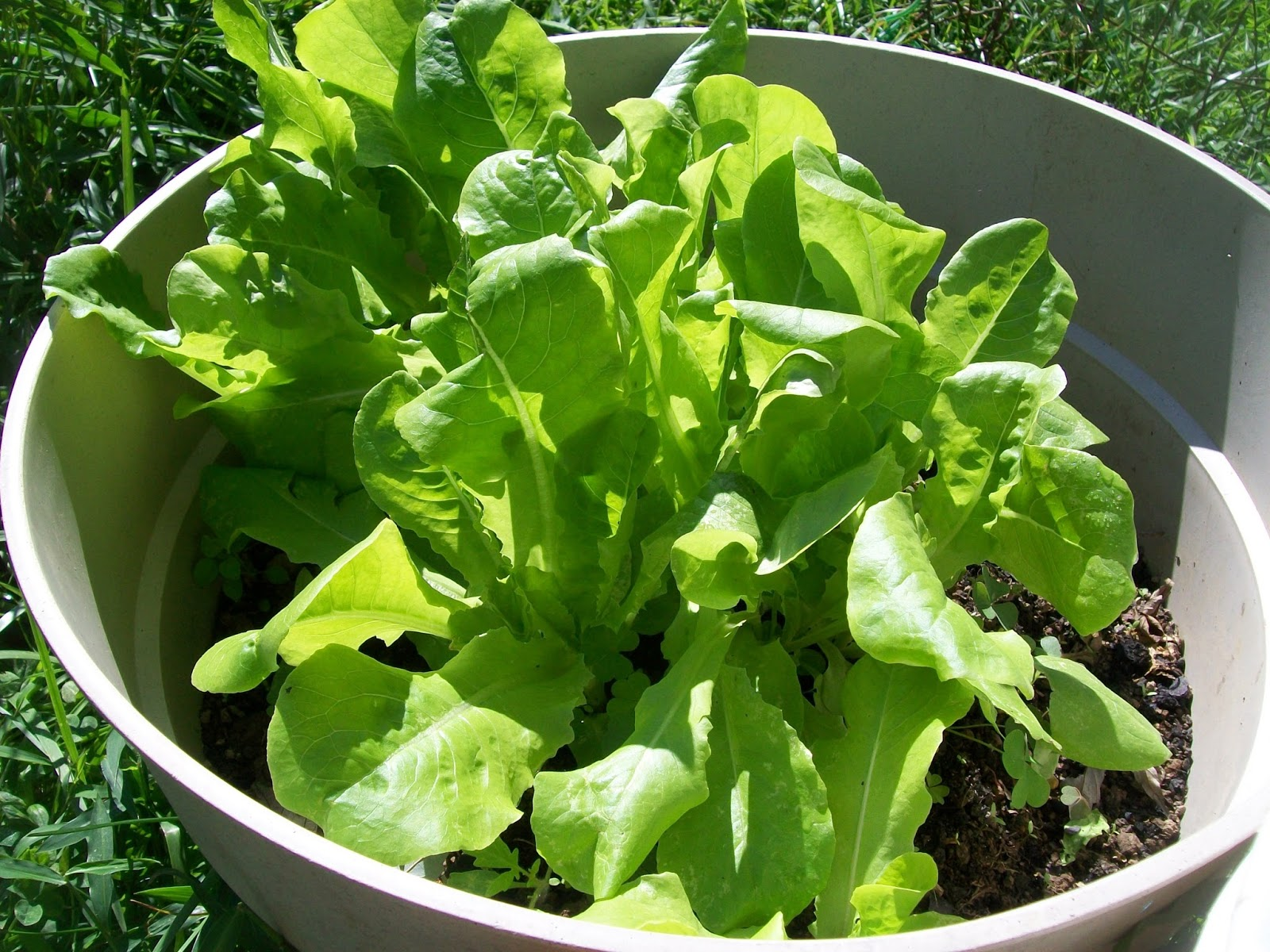 Growing lettuce in a pot - I Don T Remember Why I Transplanted The Jalapeno Pepper To A Container In The Photo Below But Obviously In A Medium Sized Container At Least One Pepper