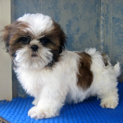 Pin Perros Chizu Imagui on Pinterest