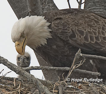 GREEN is the beginning: Bald Eagle Questions