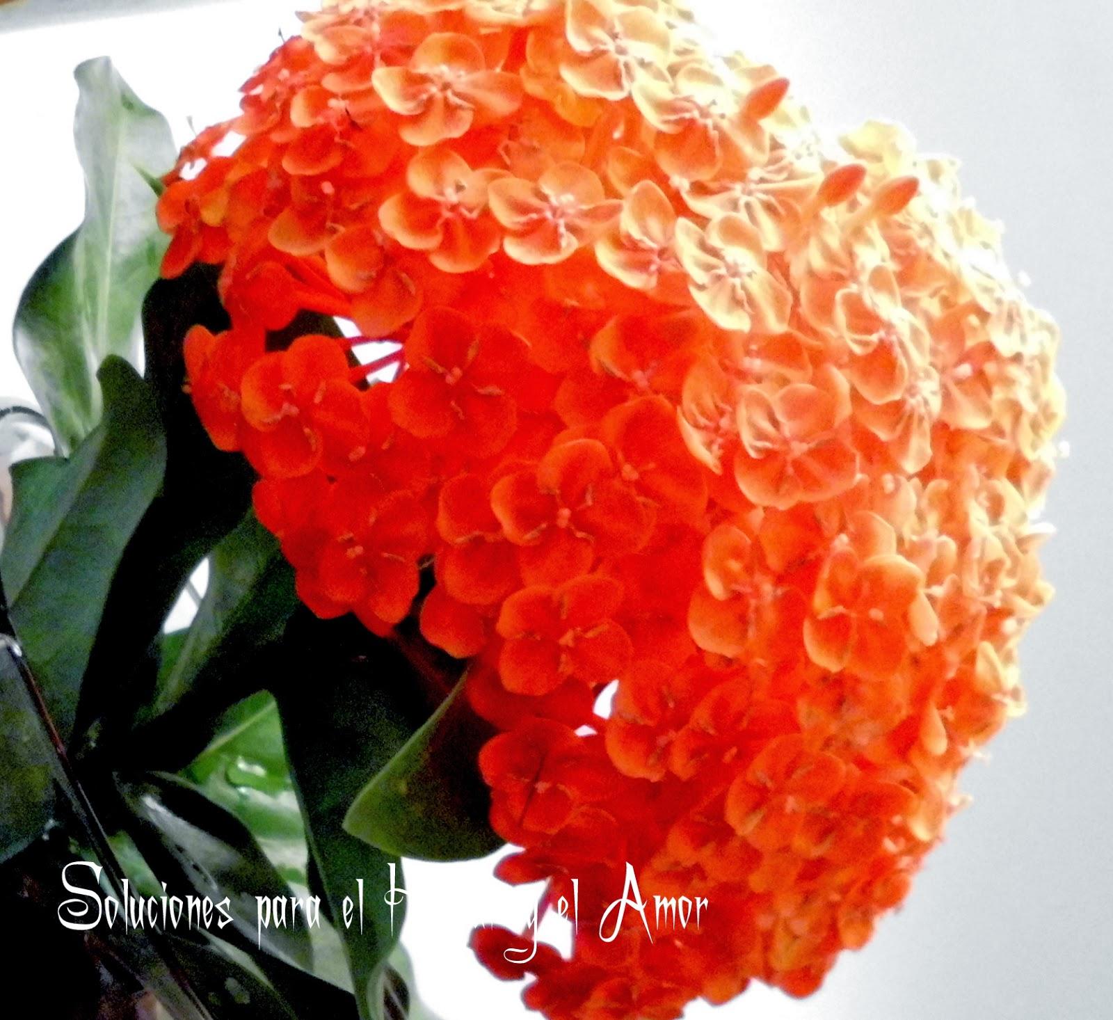 Flor Ixora Poema La Flor más Hermosa de mi Jardín, bella flor roja