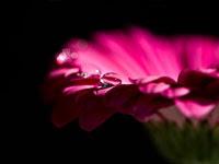ガーベラ | 写真のイラストも商用利用できるサイトPixabay