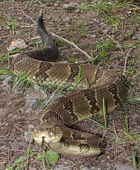 Timber Rattle snake