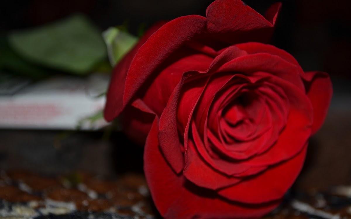 Red Rose Widescreen HD Wallpaper 3