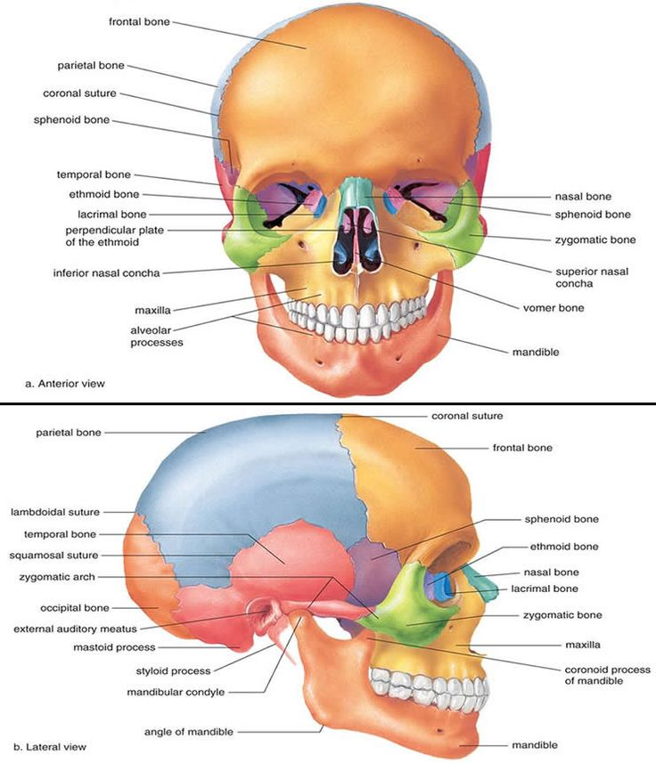 Medical and Health Science: Anatomy of Skull