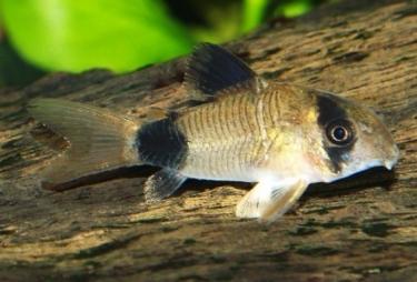 Cara merawat Ikan corydoras di dalam aquarium | Aquascape ...