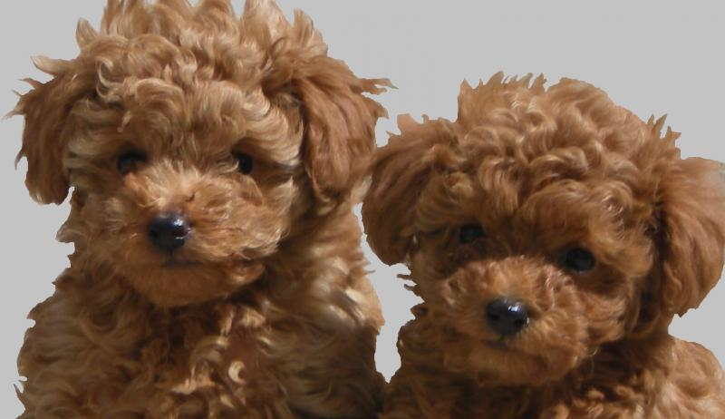 Red Toy Dogs : Cute puppy dogs poodle puppies