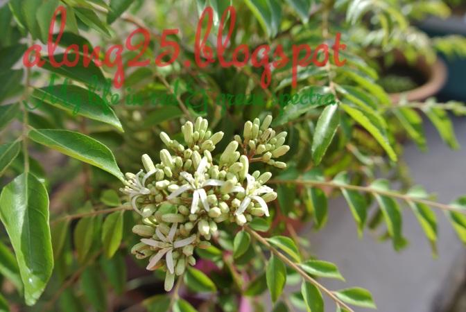 blog along25, along25, berkebun, gardening, aktiviti tabika, bunga daun kari, pokok kari, carbon footprint