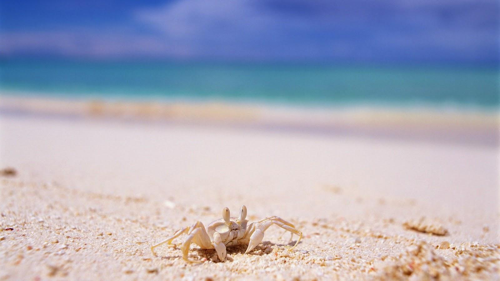 crab-on-white-sand-beach-close-photo-shot.jpg