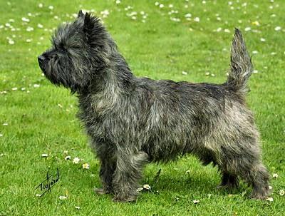 Black cairn terrier mix