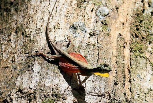 السحليه الطائره الدراكو 9.-flying-lizard.jpg
