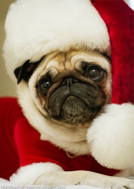 Funny pug Santa.
