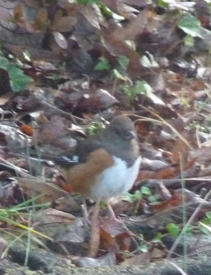 female rufous-sided towhee