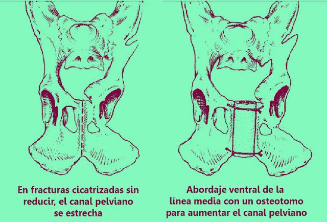 impactación acetabulo gato