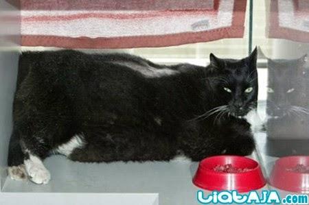 kucing gemuk | liataja.com