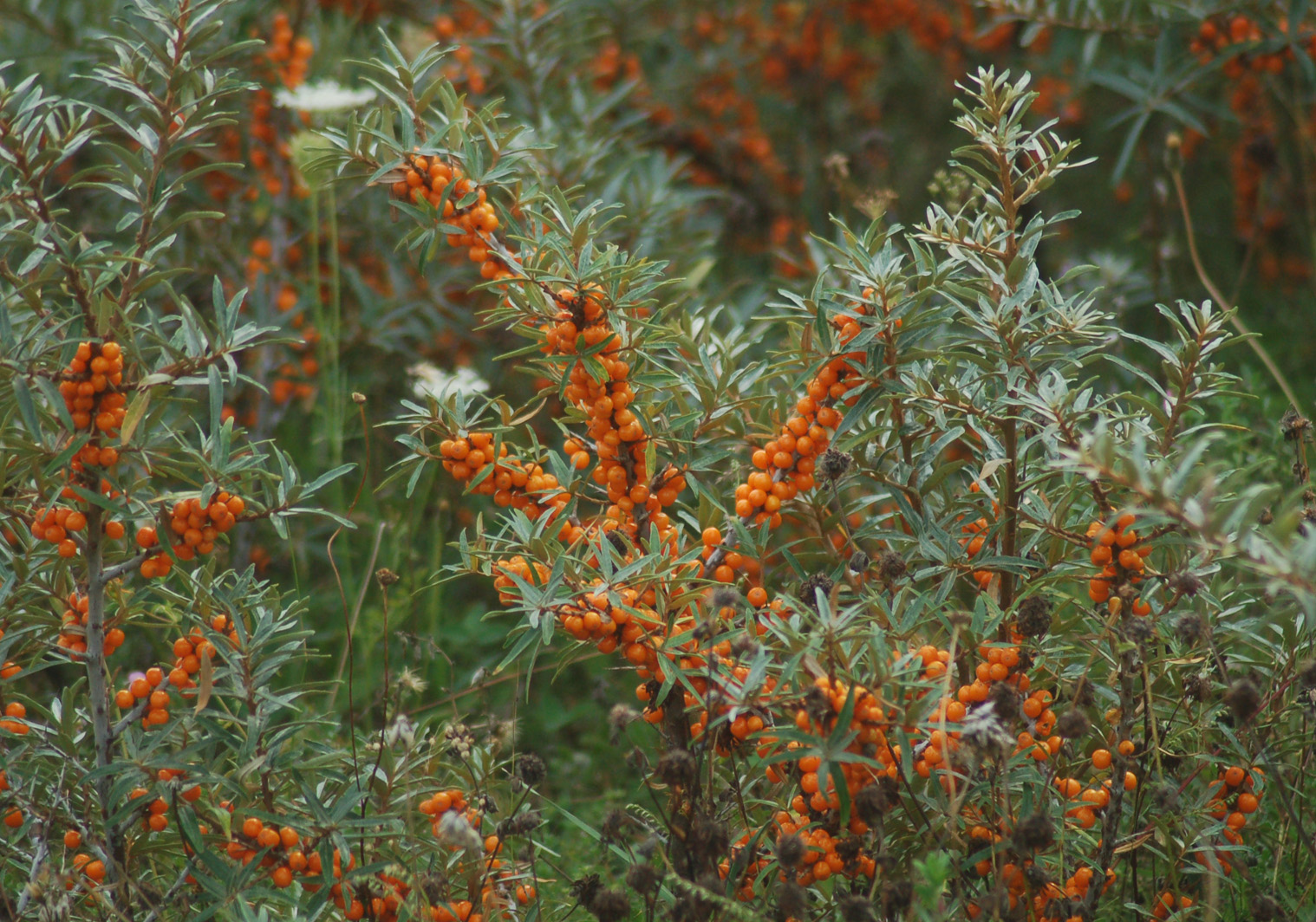 Thyra sea buckthorn havtorn - Growing sea buckthorn ...