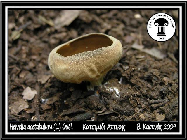 Helvella acetabulum (L.) Quél.