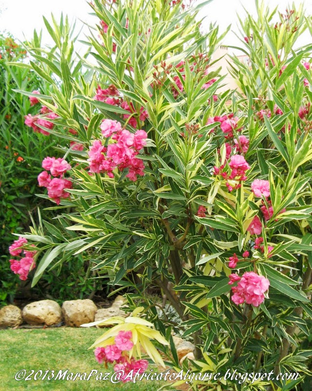 Variegated oleander