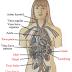 Penjelasan Sistem Peredaran Darah Manusia