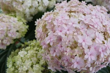 mon jardin: てまりてまり‥ mon jardin バラ、お...  てまりてまり‥