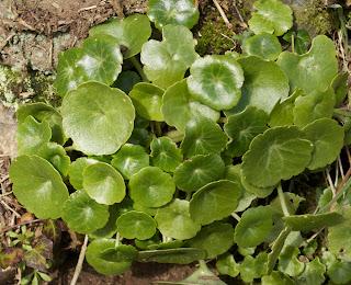 Pennywort (Umbilicus rupestris), young plants
