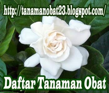 Tanaman Obat Kacapiring  (Gardenia augusta, Merr.)
