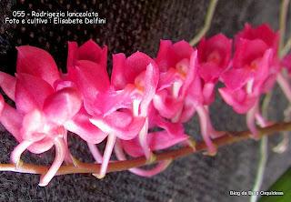Rodriguezia secunda, Pleurothallis coccinea, Burlingtonia rosea