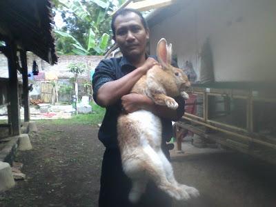 peternak kelinci di banyuwangi