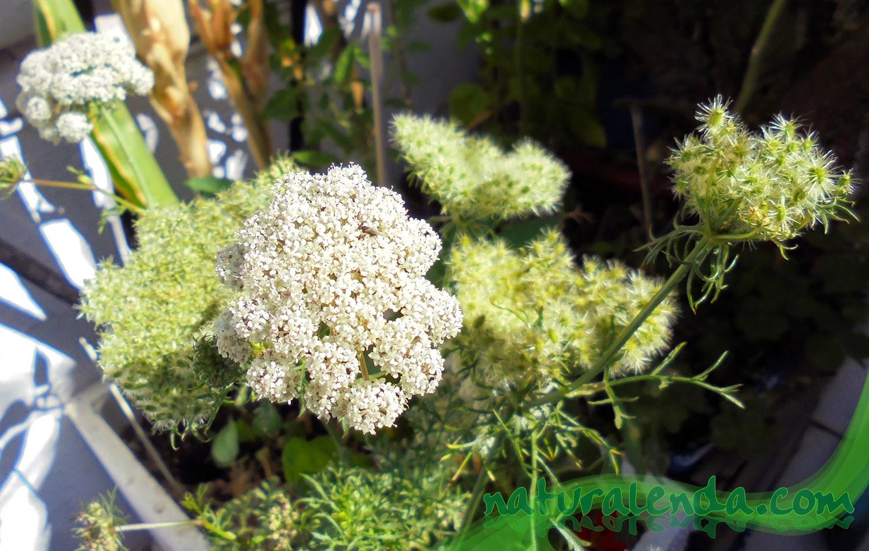 distintas fases de la flor de zanahoria