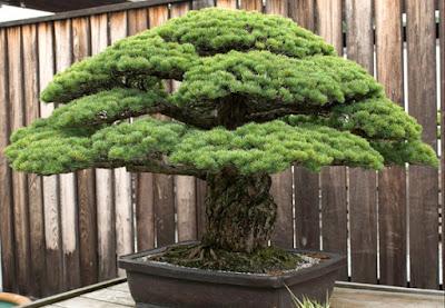 beringin hias bonsai